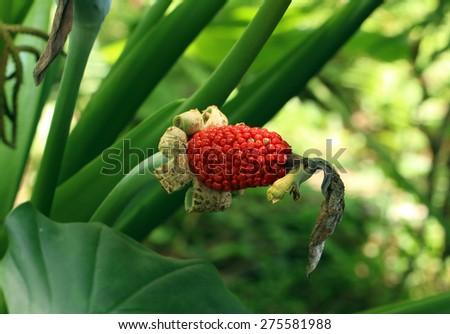 Giant Elephant's Ear's red seed (Alocasia odora) - stock photo