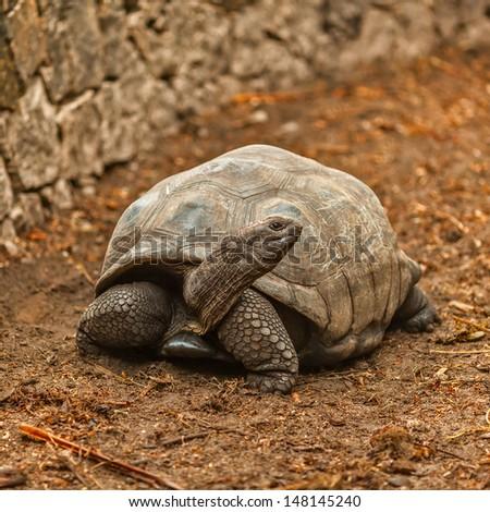giant elephant tortoise Seychelles La Digue - stock photo