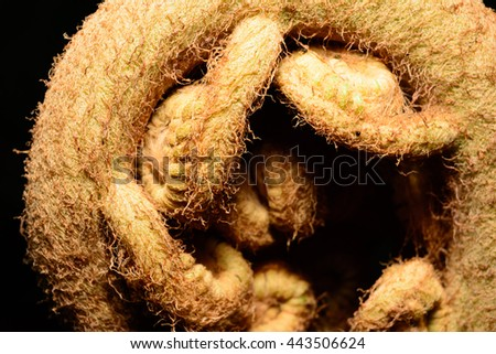 Giant Fern Frond tightly coiled and readying to unfurl - stock photo