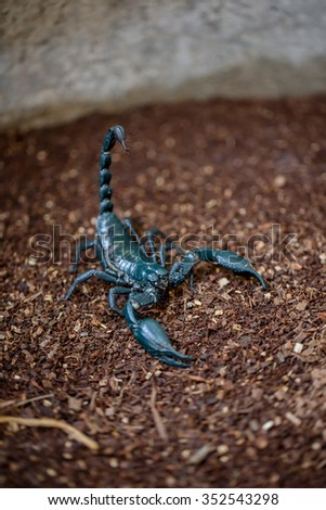Giant forest scorpion ready to fight