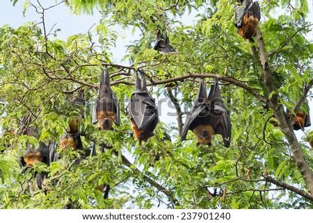 giant fruit bat on tree  - stock photo