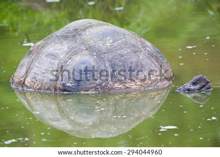 Giant Galapagos land turtle, eating grass in El Chato Tortoise Reserve. Galapagos islands 2015. - stock photo