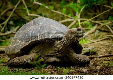 giant galapagos turtle in floreana island ecuador - stock photo