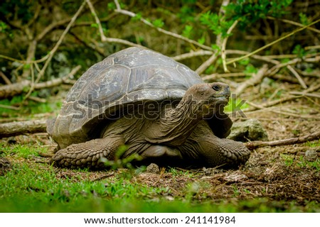 giant galapagos turtle in floreana island ecuador - stock photo