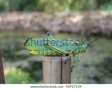 Giant Grasshopper - stock photo