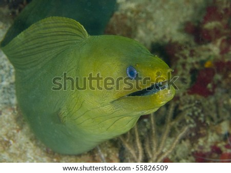 Giant Green Moray Eel on a coral reef in the Caribbean Sea - stock photo