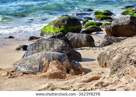giant green sea turtle at Laniakea beach, Hawaii