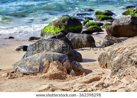 giant green sea turtle at Laniakea beach, Hawaii - stock photo