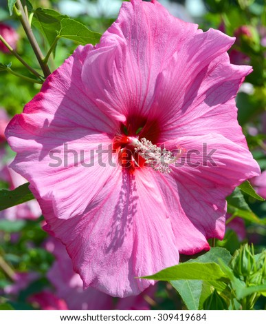 Giant hibiscus is a genus of flowering plants in the mallow family, Malvaceae. It is quite large, containing several hundred species that are native to warm-temperate, subtropical and tropical regions - stock photo