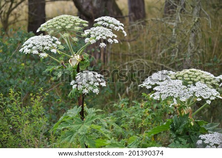 Giant Hogweed (Heracleum mantegazzianum), phototoxic plant in the umbellifera family.