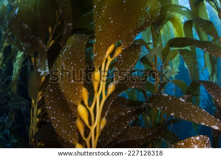 Giant kelp grows in a thick underwater forest near the Channel Islands in California. Kelp provides an important habitat for many fish and invertebrates and can grow quickly in sunlit conditions. - stock photo