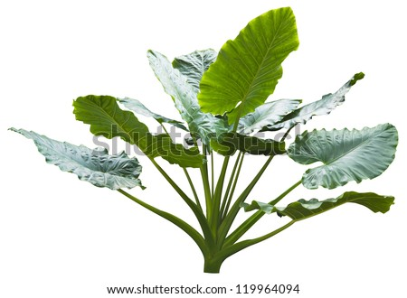giant leaf, giant alocasia tree or caladium tree isolated on white. - stock photo