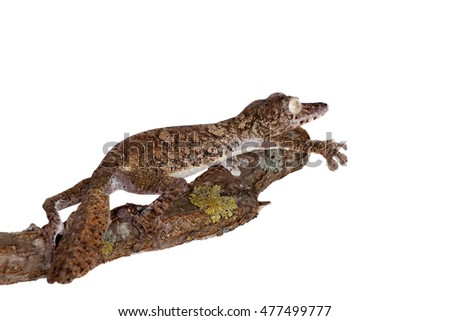 Giant leaf tailed gecko on white