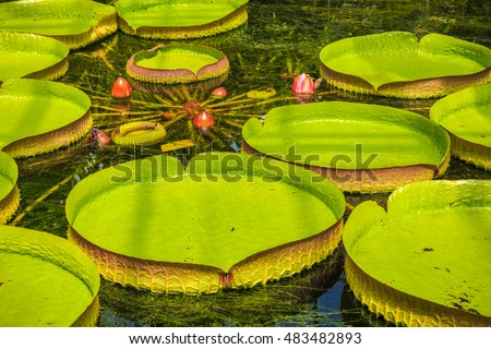 Giant Amazon Water Lily Stock Images Royalty Free Images