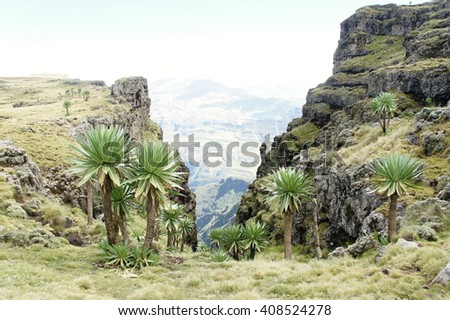 Giant lobelias near Geech camp in Simien mountains, Ethiopia - stock photo