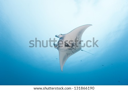 Giant Manta (Manta birostris) swimming near a cleaning station in the German Channel off the islands of Palau in Micronesia. - stock photo