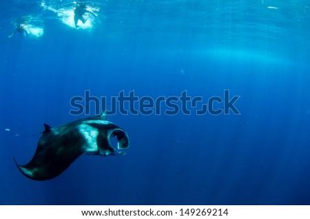 Giant manta (Manta birrostris) - stock photo