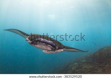 Giant manta ray at the cleaning station. Portrait of the fish. Beautiful manta dance. Nusa Penida, Indonesia. - stock photo