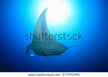 Giant manta ray floating underwater in the tropical ocean