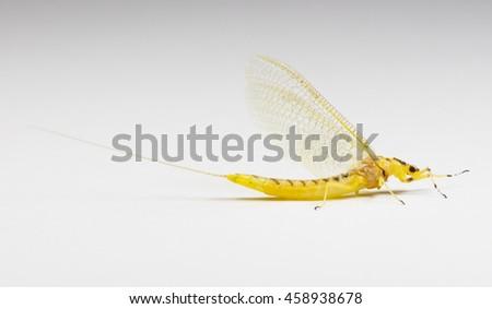 Giant Mayfly (Hexagenia) on a white background - stock photo