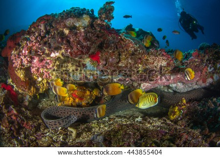 Giant moray eel, Gymnothorax javanicus. Huge moray eel in its nest. Beautiful underwater life of Nusa Penida, island of Indonesia. - stock photo