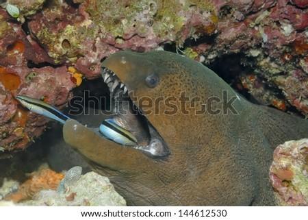Giant moray eel  (Gymnothorax javanicus) with cleaner fish - stock photo