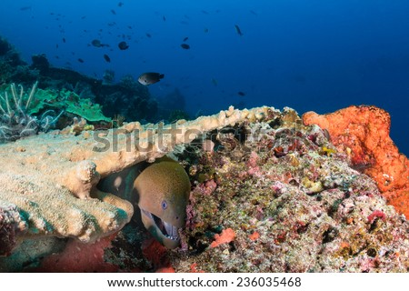 Giant Moray Eel hiding amongst hard corals on a tropical reef - stock photo