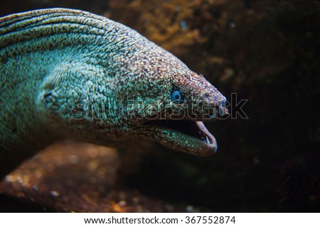 Giant Moray Eel with open mouth close-up. Selective focus on the fish eyes - stock photo