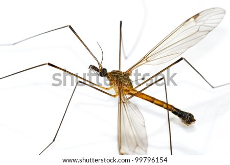 Giant mosquito - stock photo