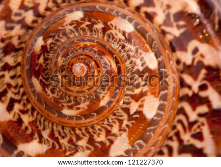 Giant Nautilus shell outside pattern