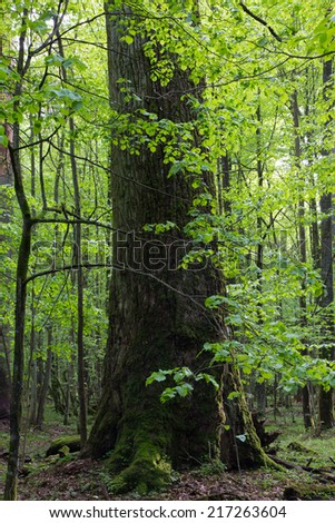 Giant oak tree grows among young hornbeams against bright sun - stock photo