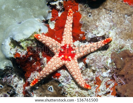 Giant octopus on coral reef in Indian ocean. - stock photo