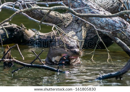 Giant otter eating in the peruvian Amazonian jungle at Madre de Dios - stock photo
