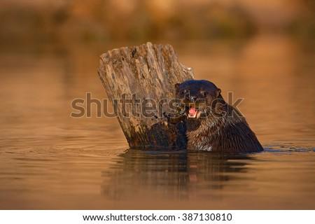 Giant Otter, Pteronura brasiliensis, portrait in the river water level, Rio Negro, Pantanal, Brazil  - stock photo