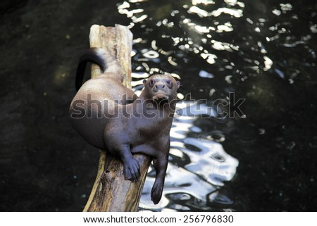 Giant otter relaxing on a log surrounded by water - stock photo