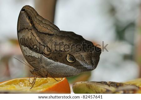 Giant Owl Butterfly (Caligo Memnon) - stock photo