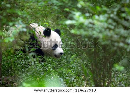 Giant Panda, an endangered species, walks through the woods - stock photo