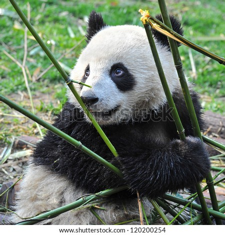Giant panda bear eating bamboo - stock photo