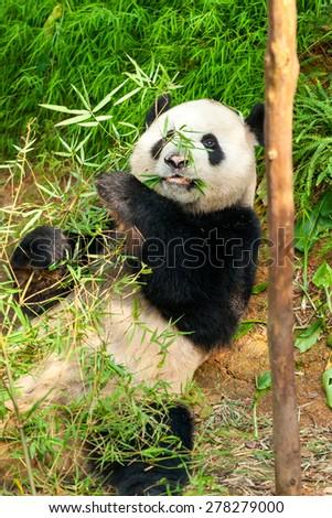 Giant panda bear eating bamboo.  - stock photo