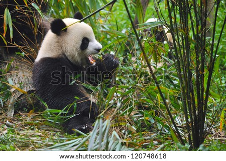 Giant panda bear eating bamboo in forest