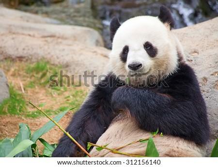Giant panda bear eating bamboo leafs - stock photo