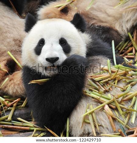 Giant panda bear eating bamboo shoots - stock photo