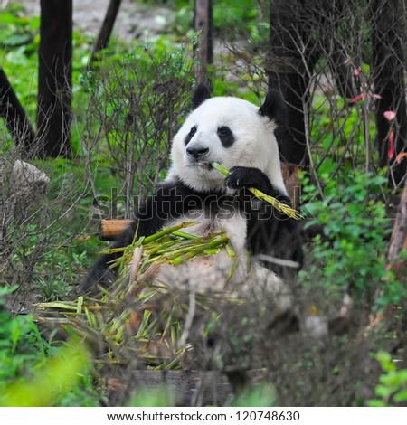 Giant panda bear enjoys eating bamboo with eyes closed - stock photo