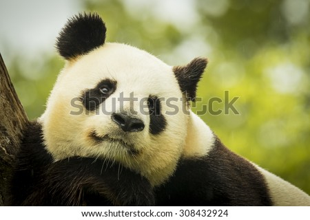 Giant panda bear falls asleep during the rain in a forest after eating bamboo - stock photo
