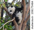 Giant panda bear in tree - stock photo