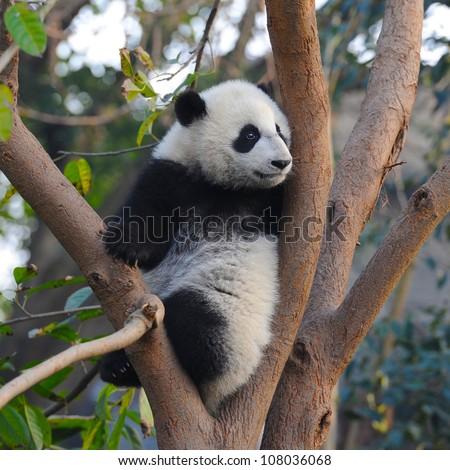 Giant panda bear in tree - stock photo