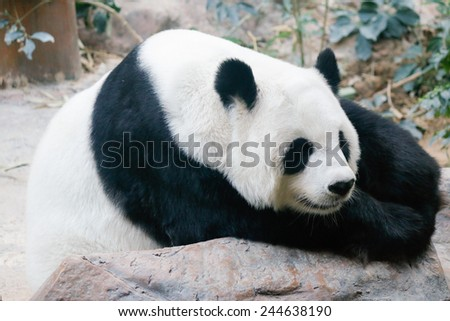 Giant Panda bear is relaxing on rock - stock photo