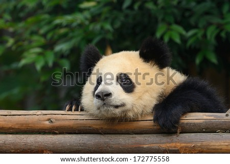 Giant panda bear resting at Chengdu, China - stock photo