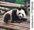 Giant panda bear showing teeth - stock photo