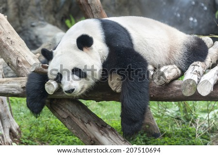 Giant panda bear sleeping  - stock photo